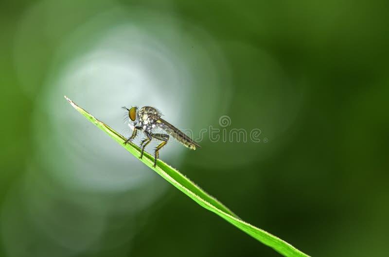 Beautifu insekta zabójcy łasowanie w Malaysia zdjęcia stock