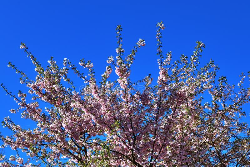 Beautifu red yellow and white blooming trees in front of a blue sky seen in germany. Beautifu red yellow and white blooming trees in front of a blue sky seen in stock photography