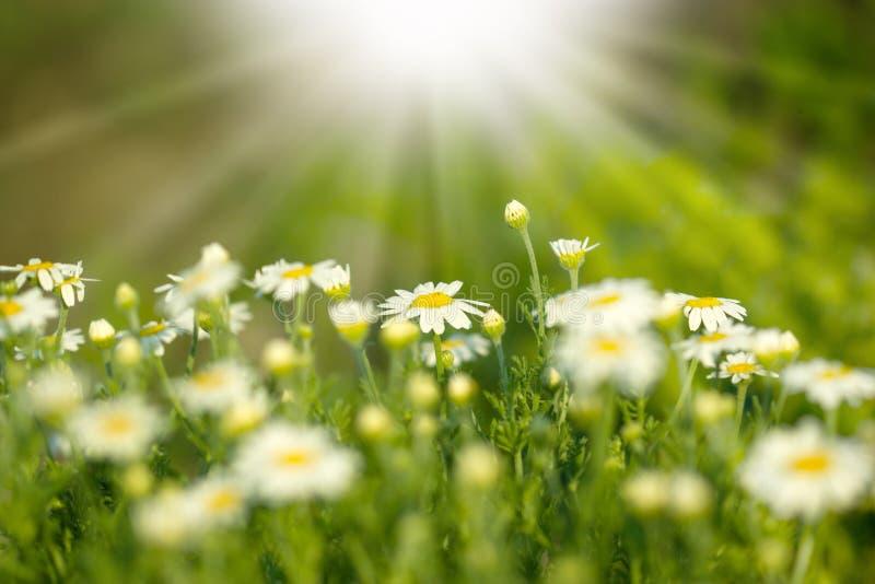 Download Beautifu spring daisy stock image. Image of botany, idyllic - 24820379