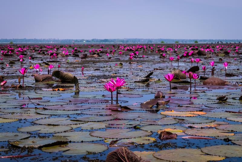 Beautifui rode lotusbloem stock foto