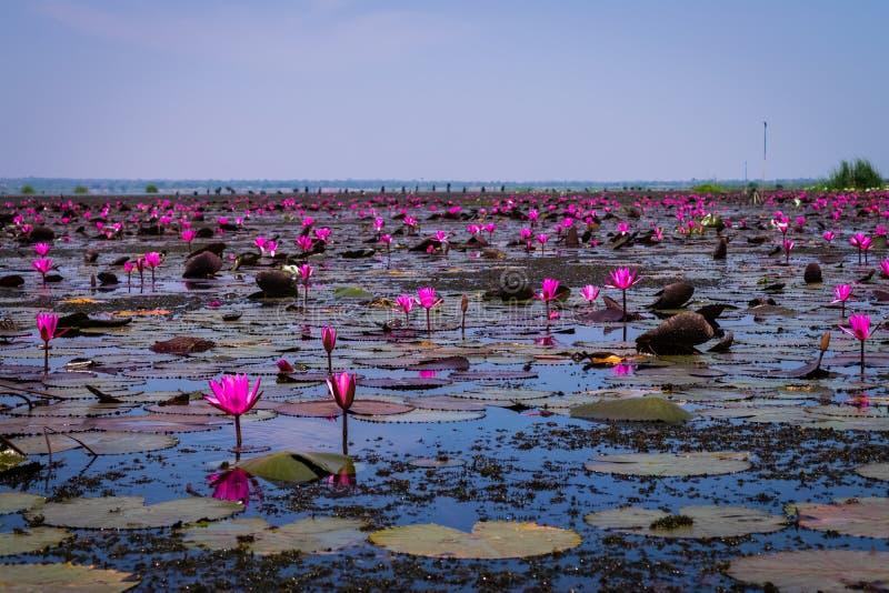 Beautifui rode lotusbloem stock afbeeldingen