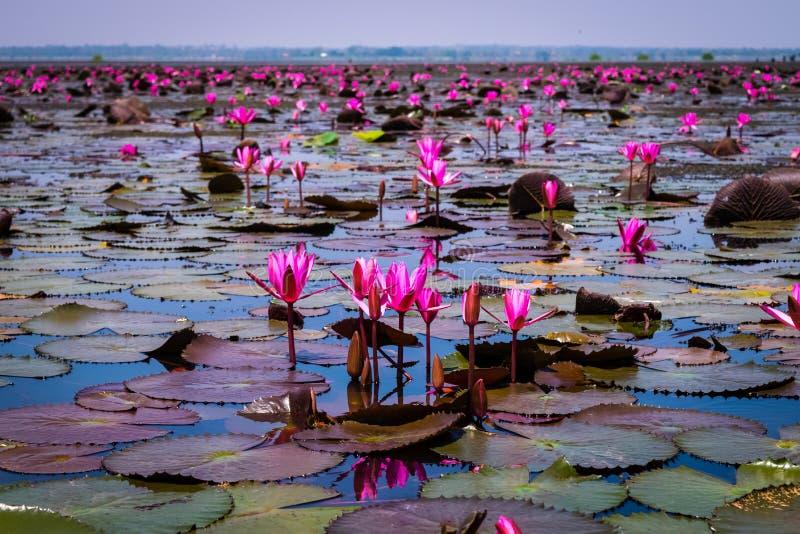 Beautifui rode lotusbloem royalty-vrije stock fotografie