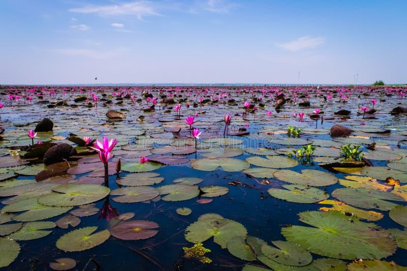 Beautifui rode lotusbloem royalty-vrije stock afbeelding