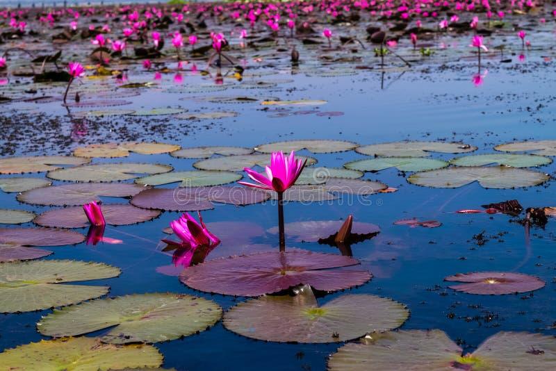 Beautifui rode lotusbloem royalty-vrije stock foto's
