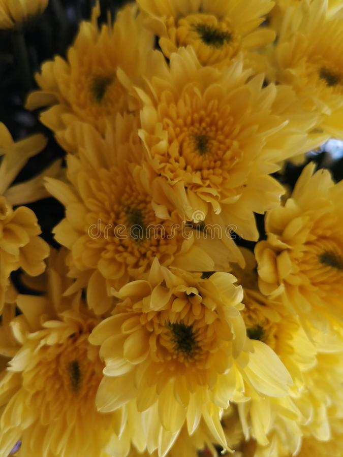 Beautiful​nature​Chrysanthemum​flower​plant​ 免版税库存图片
