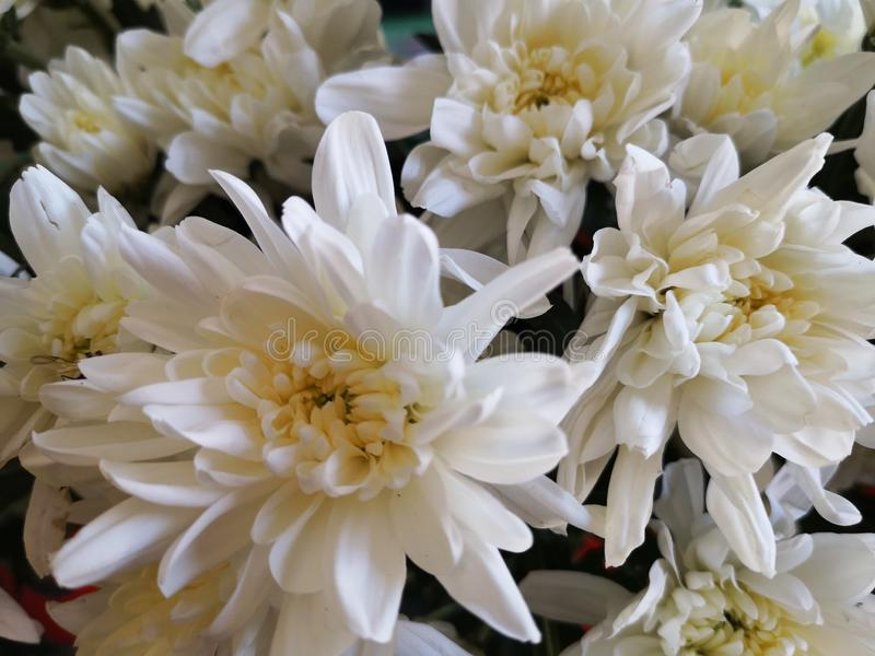 Beautiful​nature​Chrysanthemum​flower​plant​ 库存照片