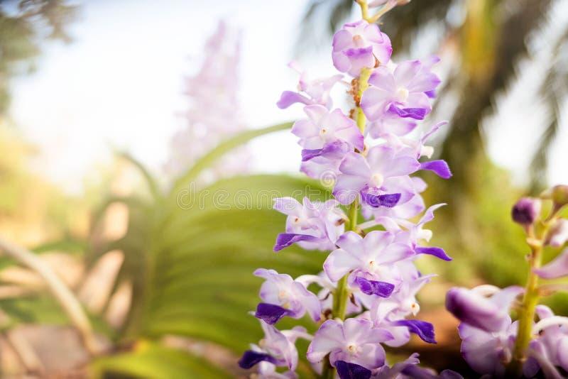 beautifulÃÆ'â⠂¬Å ¡ Ã'à 'białe, purpurowe orchidee i zimy lub wiosny dla pocztówki przy dniem w ogródzie fotografia stock