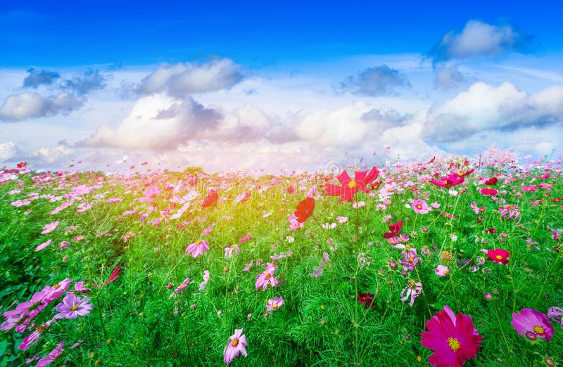 Beautiful pink cosmos in flower in the garden at Kaokho mountain in Phetchabun Thailand stock photo