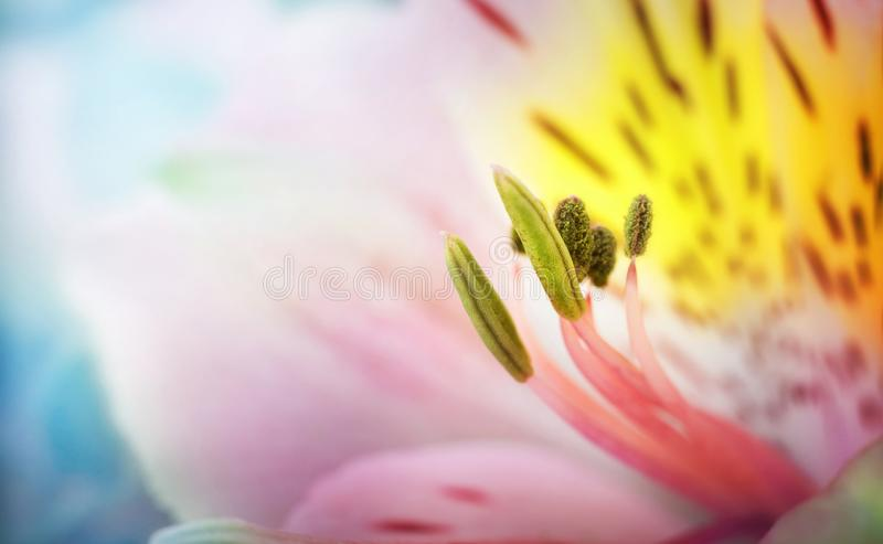 Beautiful сolorful flowers alstroemeria macro shot. Shallow focus. Abstract flower background. stock photos