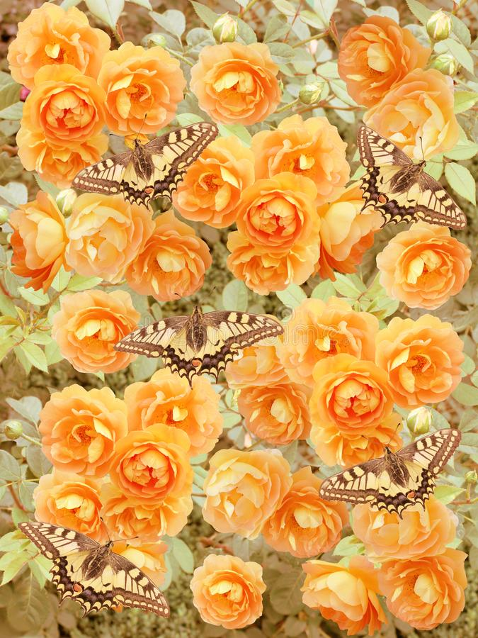Beautiful abstract background with butterflies on roses. stock images