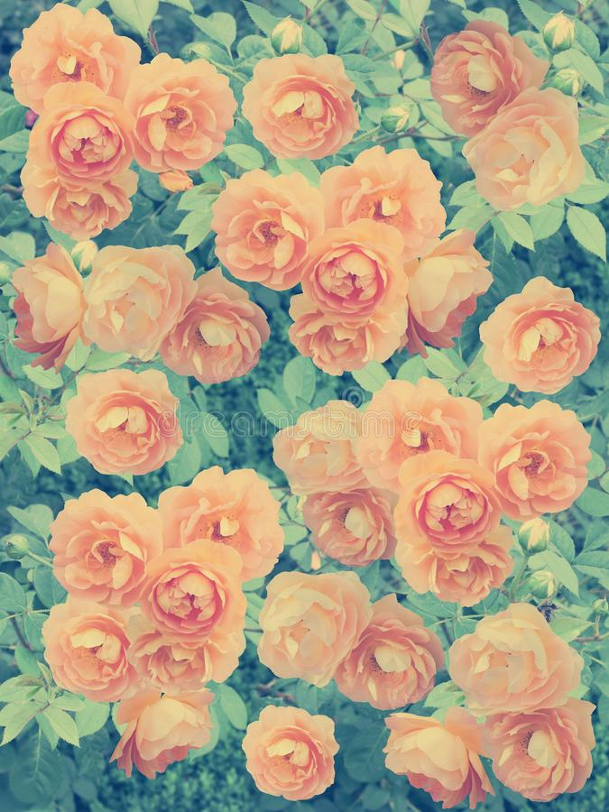 Beautiful abstract background with roses. royalty free stock photography