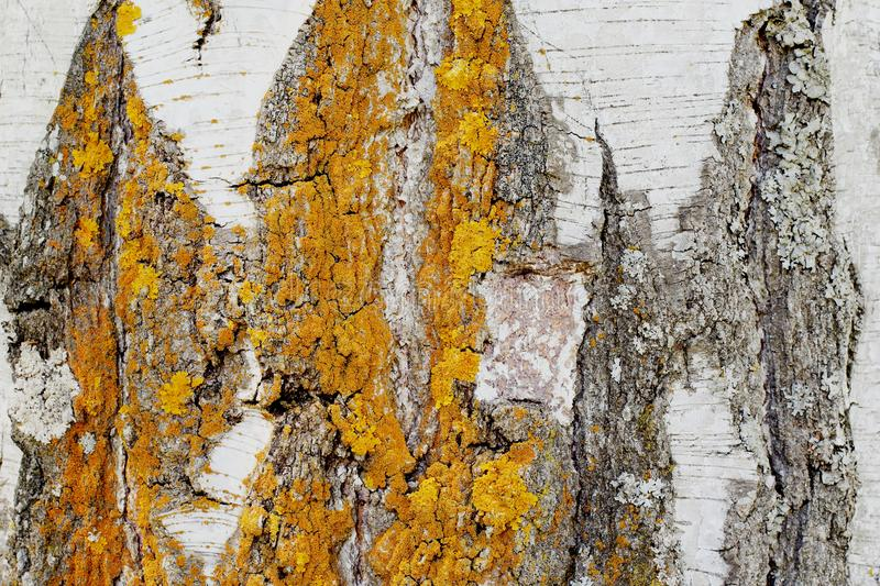 Unique original natural pattern on birch bark damaged by natural atmospheric phenomena. Deep cracks, yellow and gray lichen. stock photography