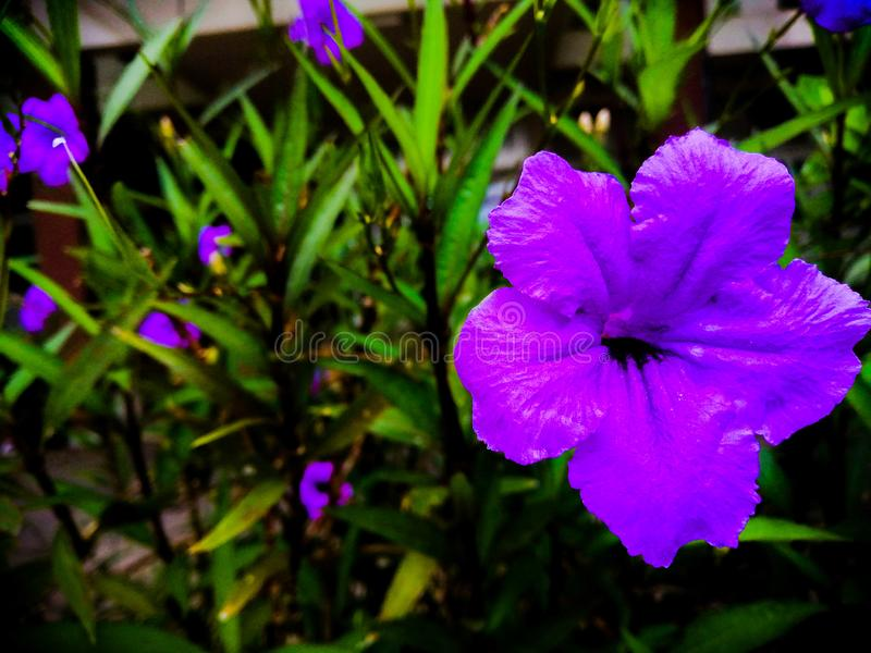 Beautiful abstract texture color purple flowers blooming and green leaf at the public parks royalty free stock photo