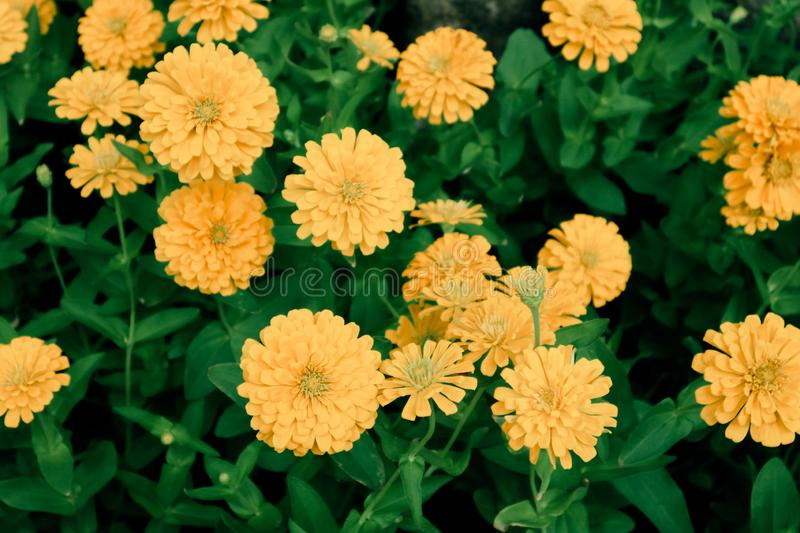 Beautiful abstract texture white orange and yellow flowers trees plants and forest lalandscape in the public nature green city par. Beautiful abstract texture royalty free stock images