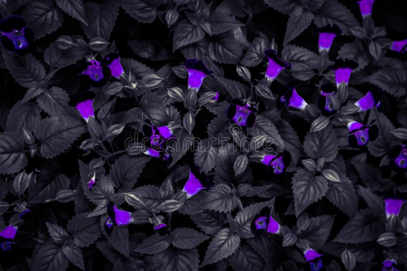 Beautiful Abstract Textures Close Up Color Red Purple And Pink Flowers On The Black And Darkness Isolated Background And Wallpaper Stock Photo Image Of Leaf Bright 155241736