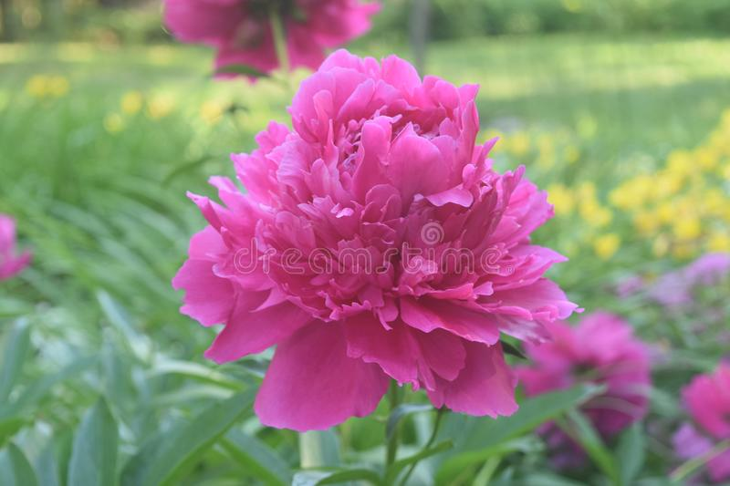 Beautiful Abundace of Pink Peonies in Nature stock images
