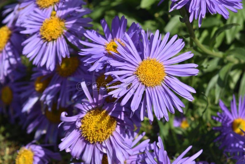 Beautiful Abundance Of Purple And Yellow Aster Flowers stock photos
