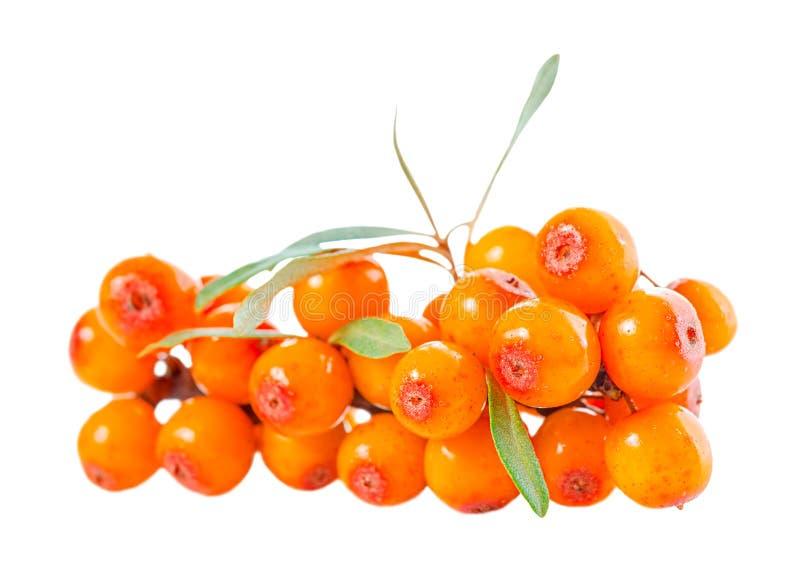 Beautiful abundance twig of sea buckthorn berries is isolated on royalty free stock photography