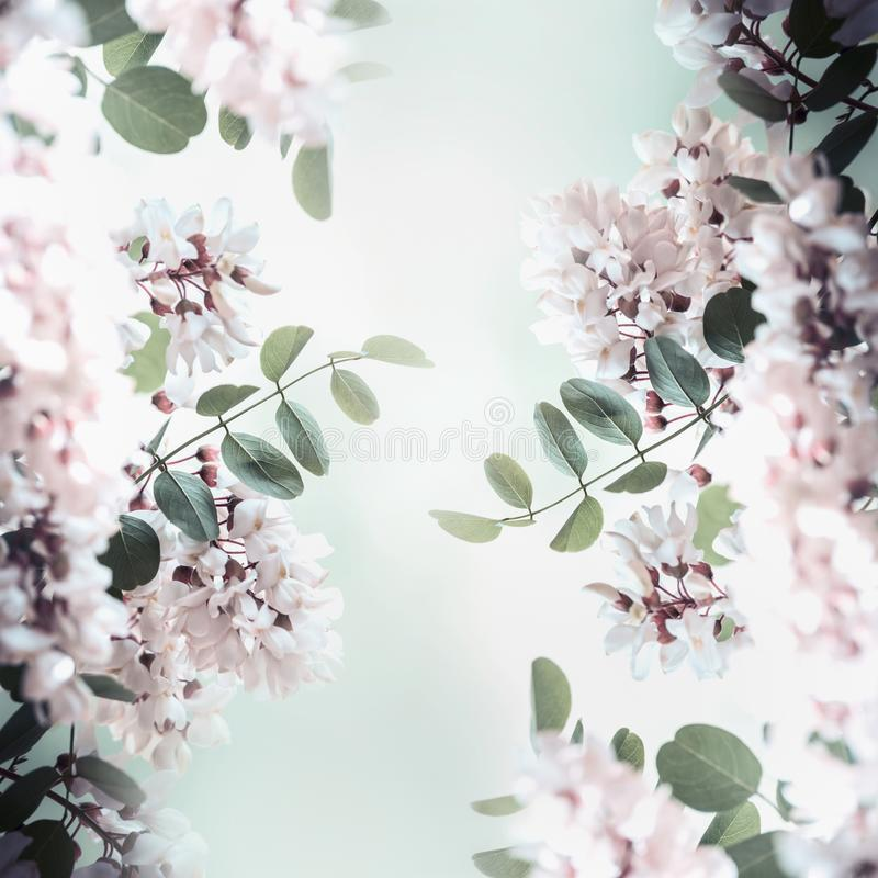 Beautiful acacia blossom frame, spring and summer nature. Background royalty free stock images