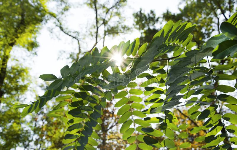 Beautiful acacia leaves on a branch, a ray of sun breaks through them. Autumn leaves with sunbeams. Photo of autumn leaves on a. Beautiful acacia leaves on a stock image