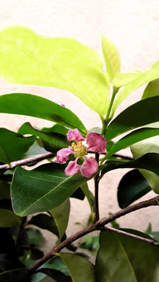 Little acerola flower royalty free stock photo