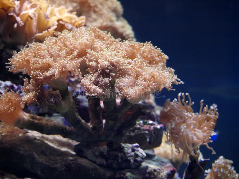 Beautiful actinia