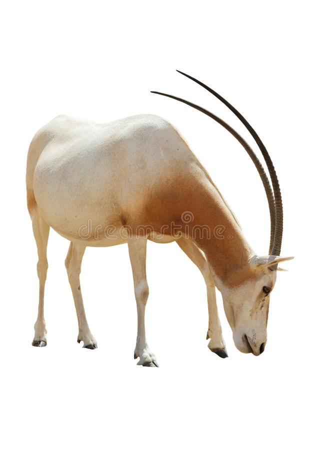 Beautiful Addax isolated royalty free stock photo
