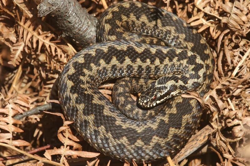 A beautiful Adder Vipera berus snake just out of Hibernation basking in the morning sunshine. stock photos