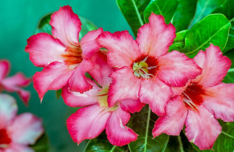 Beautiful Adenium obesum or desert rose flower. In the nursery stock photo