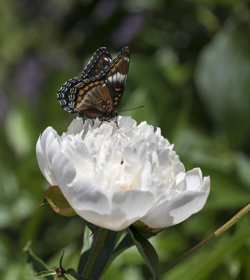 White Admiral Butterfly on a Large Peony Flower royalty free stock image