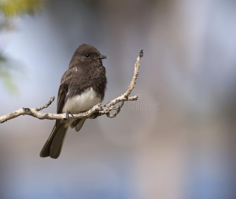 Black Phoebe perched. A beautiful adult Black Phoebe perched on a small branch in Mission Bay, San Diego, California royalty free stock image