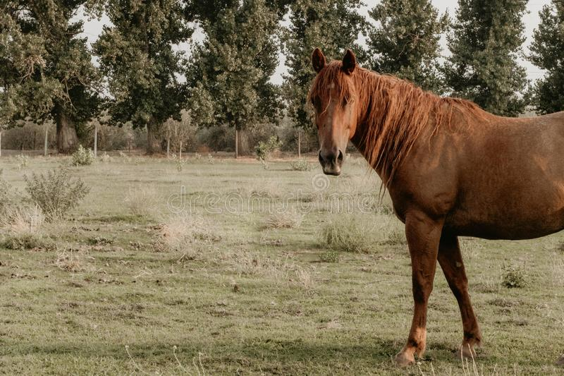 Beautiful adult brown horse in a field at a ranch royalty free stock photo