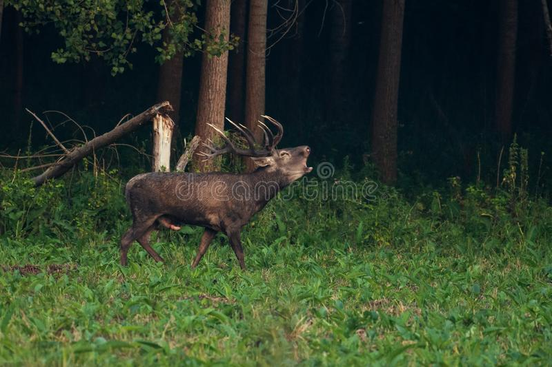 Adult male Red Deer roaring in natural environment during annual rut. royalty free stock photo