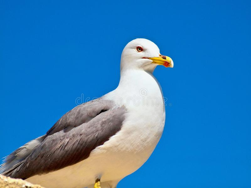 Beautiful adult seagull in front of blue sky stock images