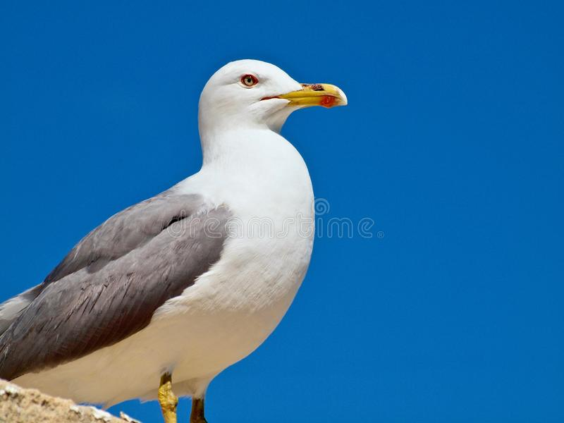 Beautiful adult seagull in front of blue sky stock photography