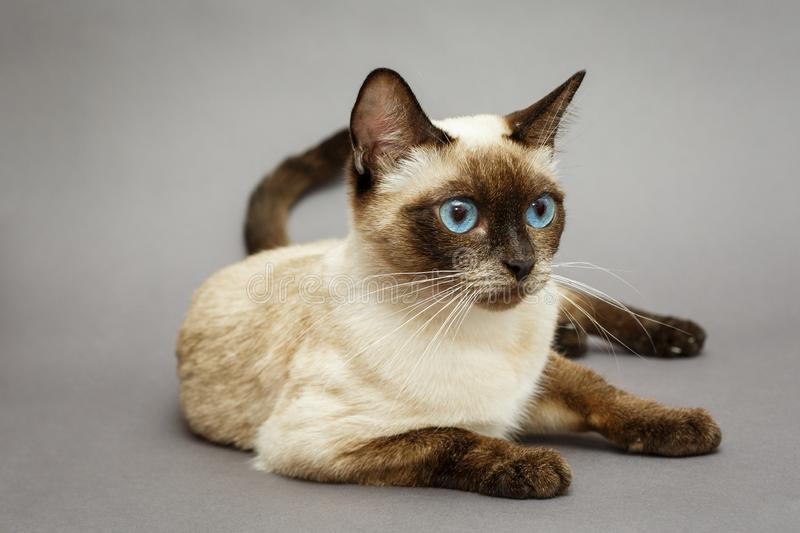 Beautiful adult Siamese cat. On grey background stock image