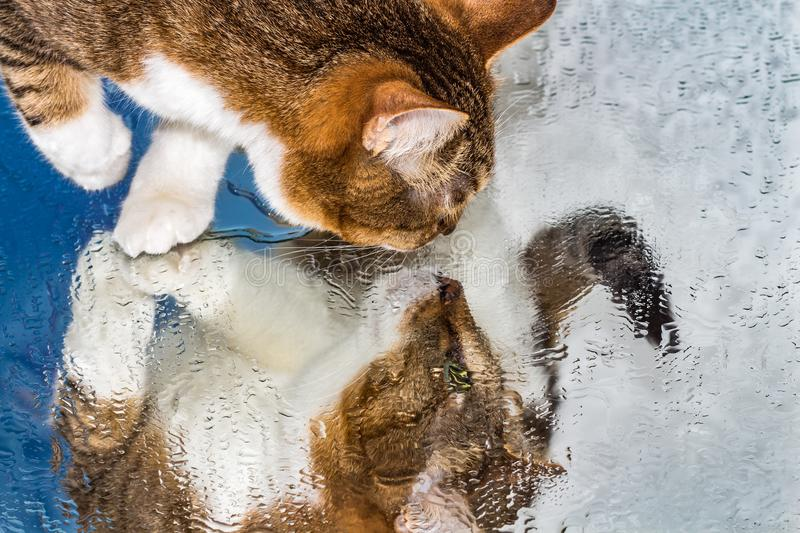 A beautiful adult young tabby cat with green eyes and brown velvet wet nose sits on a wet mirror. White and blue background and expressively looks on his stock images