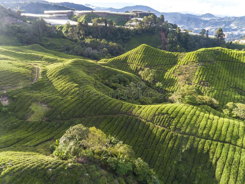 Beautiful aerial view of the tea plantation at golden hour. Beautiful aerial view of the tea plantation area on the hillside during golden hour stock image