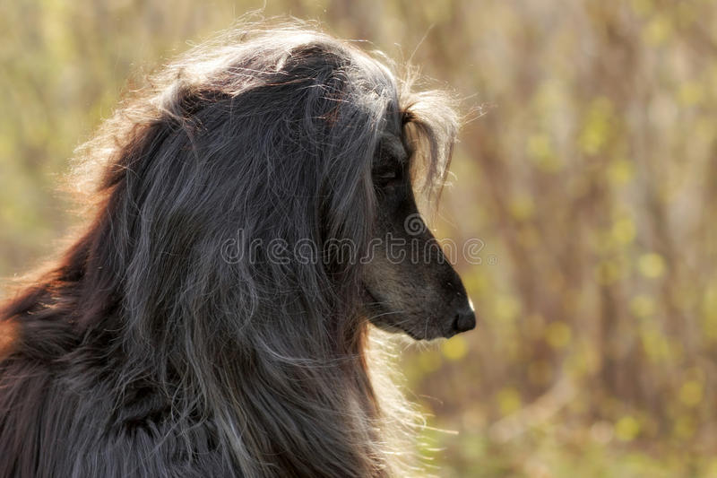 Beautiful Afghan hound dog. Summer portrait in profile royalty free stock image