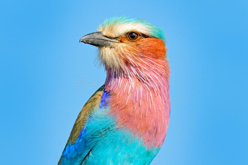 Beautiful African bird, close-up portrait. Detail portrait of beautiful bird. Lilac-breasted roller, Coracias caudatus, head with. Blue sky. Pink and blue royalty free stock image