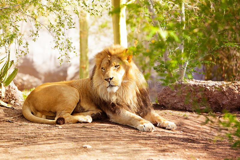 Beautiful African Lion Laying in Jungle royalty free stock photos