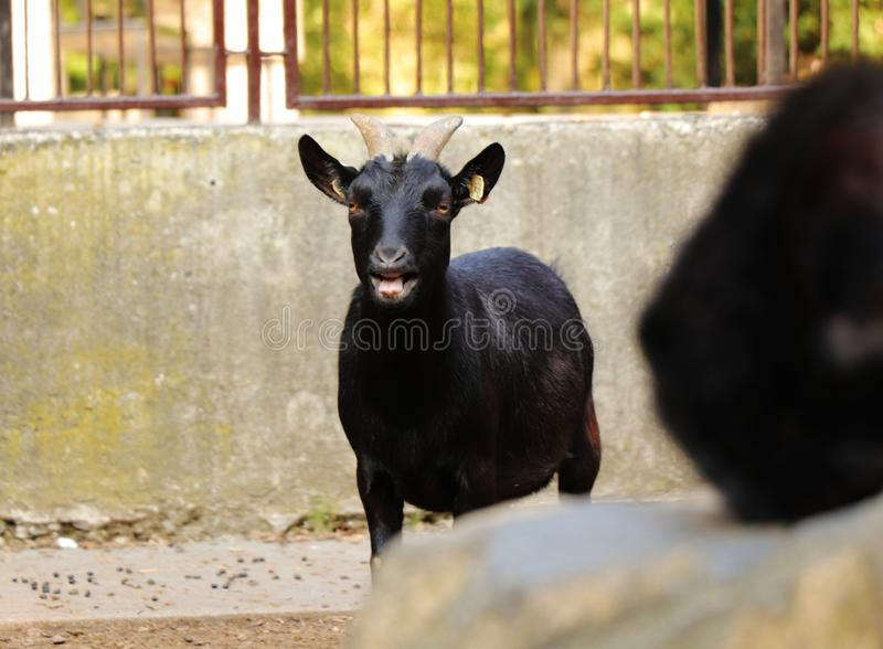A beautiful african pygmy goat, capra aegagrus, standing and bleating on me. Looking at camera. Standing in park stock photography