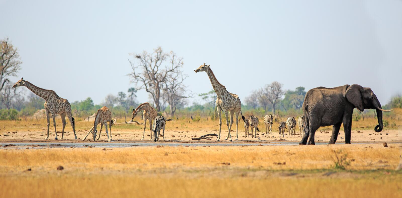 Panorama of giraffe, zebra and elephant drinking from a waterhole inn the heat of the day in Hwange National Park stock photos