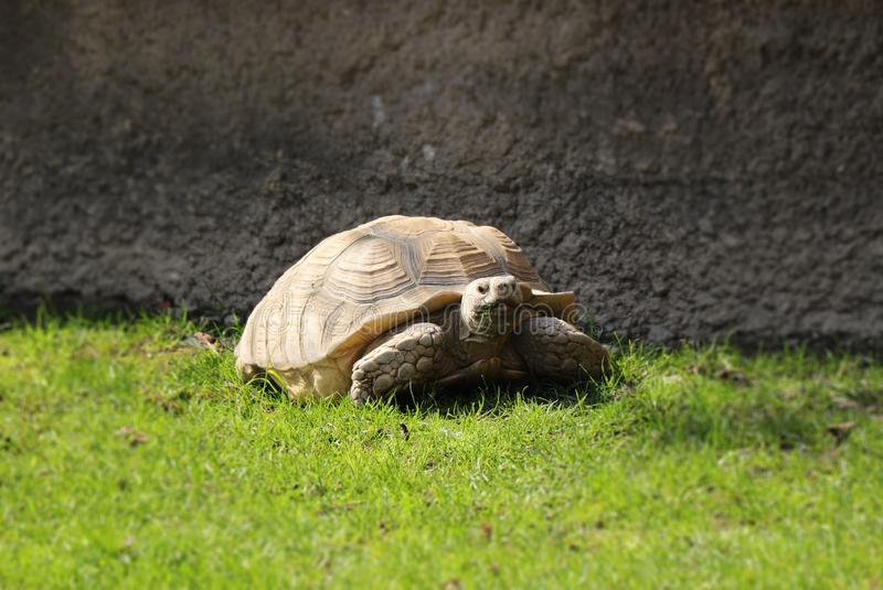 A beautiful African spurred tortoise in grass in hot day on walking aroung his house. A big tortoise relaxing in the middle of. Meadow royalty free stock photography