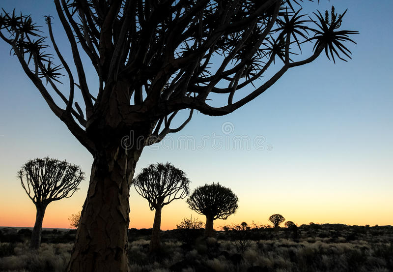 Beautiful african sunset with silhouetted Quiver trees. royalty free stock image