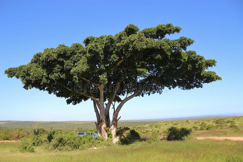 Beautiful African Tree with broad crown in the Addo Elephant National Park, South Africa. Beautiful African Tree with broad crown in the Addo Elephant National stock images
