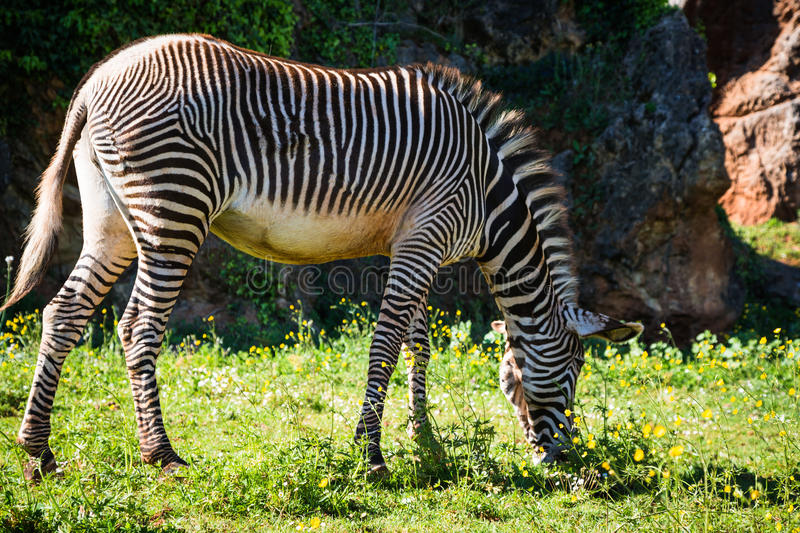 A beautiful African zebra in his natural environment royalty free stock photography