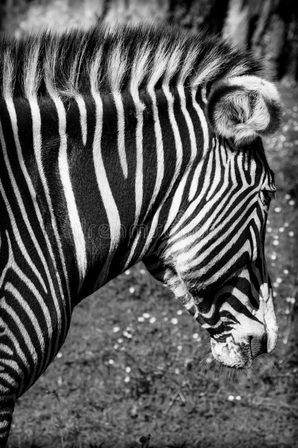 A beautiful African zebra in his natural environment stock image