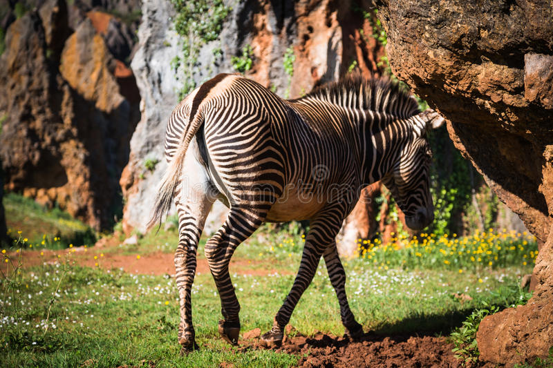 A beautiful African zebra in his natural environment royalty free stock images