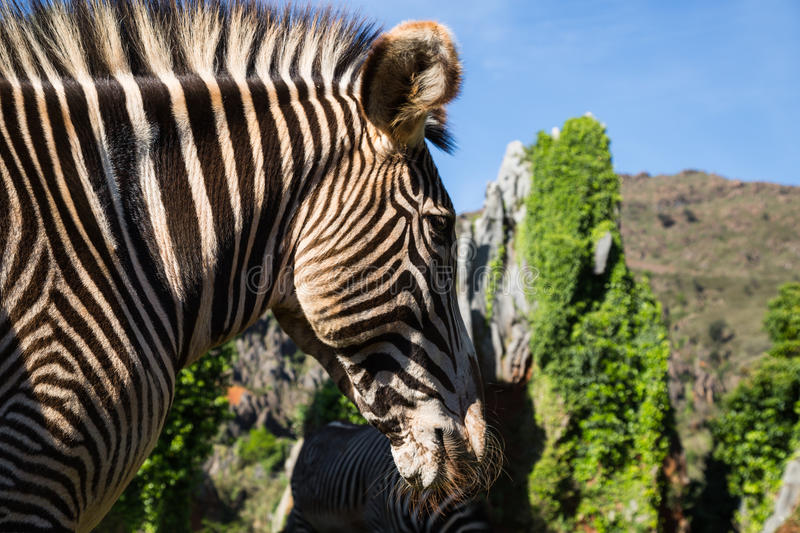 A beautiful African zebra in his natural environment royalty free stock photos